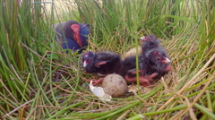 Swamp hen caring for young chicks Stock Footage