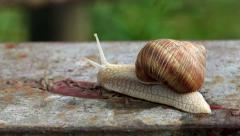 Brown Burgundy Roman Snail or Slug Outdoors Stock Footage