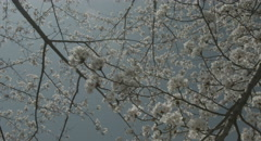 look up cherry tree handy shot 4k  non color graded (4000x2160) - stock footage