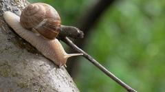 Brown Burgundy Roman Snail or Slug Outdoors Stock Footage