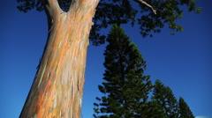 Rainbow eucalyptus Stock Footage