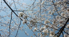 look up cherry tree handy shot 4k color graded (4000x2160) 17 - stock footage