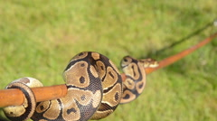 CU snake of a stick Stock Footage