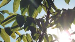 Walnut Treetop and Branches with Green Leaves with Morning Sunlight Stock Footage