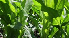 Field of cornstalks Stock Footage