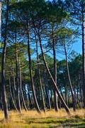 Maritime pines - stock photo