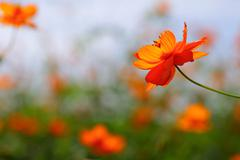 Cosmos flower with natural background Stock Photos
