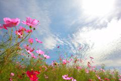 Cosmos flowers with blue sky as background Stock Photos