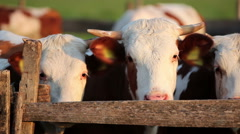 Stock Video Footage of Cattle in Corral on Ranch