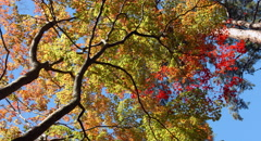 Look up colorful tree 4k color graded (4000x2160) Stock Footage