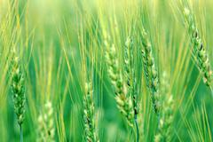 wheat close up - stock photo