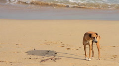 FULL SHOT. Skinny stray dog takes a walk in the beach. Stock Footage