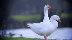 Goose sit down in front other goose 4K Stock Footage