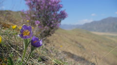 Alpine flowers in the wind 2 Stock Footage