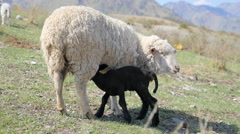 Black Lamb sucks sheep in a pasture in the mountains Stock Footage