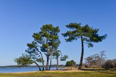 Landes pine on the edge of a lake Stock Photos