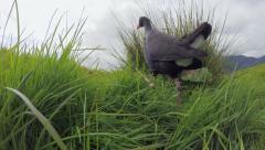 Swamp hen (Pukeko) walking. Stock Footage