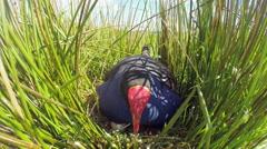 Swamp hen (Pukeko) on Nest. Stock Footage