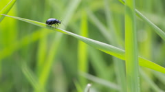 Beetle moving on grass weed - stock footage