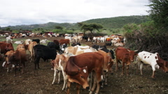 Cattle that belongs to an African tribe Stock Footage