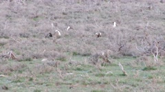 Sage Grouse - stock footage
