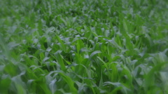 Field of cornstalks - stock footage