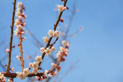 Cherry blossom with blue sky - stock photo