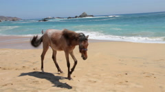 FULL SHOT. A horse takes a walk in the beach. Stock Footage