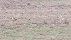 Sage grouse Stock Footage