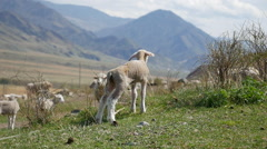 Lambs and sheep in a pasture in the mountains Stock Footage