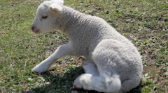 newborn lamb in a pasture in the mountains - stock footage