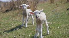 Newborn lambs in a pasture in the mountains Stock Footage