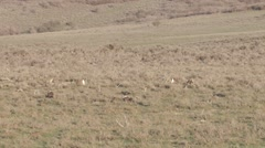 Sage grouse - stock footage