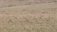 Stock Video Footage of Sage grouse