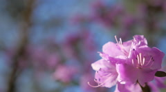 Rhododendron flowers in the Altai Mountains 5 Stock Footage