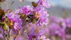 Rhododendron flowers in the Altai Mountains 9 Stock Footage