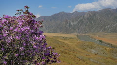Rhododendron flowers in the Altai Mountains 11 Stock Footage