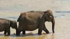 Elephants family in the river - Sri Lanka 4k Stock Footage