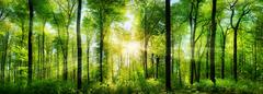 Forest panorama with rays of sunlight - stock photo