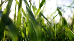 Bright Wet Grass In Sunlight Close Up    Stock Footage