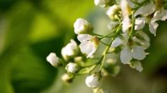 Bird-Cherry Flower Close Up    Stock Footage