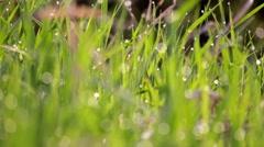 Wet Grass Focus Shift    Stock Footage
