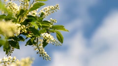 Bird-Cherry Tree Branch In Bloom    Stock Footage