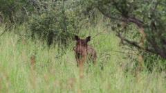 Wild warthog Stock Footage