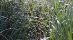 Wet Long Spring Grass    Stock Footage