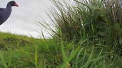 Swamp hen (Pukeko) enters nest Stock Footage