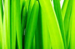 stems and leaves of narcissus - stock photo