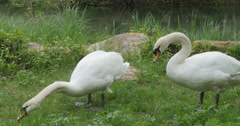 Swans Feeding in grass Stock Footage