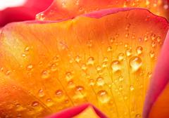 Drops of dew on a flower Stock Photos
