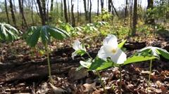 White Trillium Flower in Forest Stock Footage